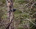 Rusty Blackbird (8711478052).jpg