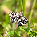 Rutig buskmätare - Chiasmia clathrata-1 - Flickr - Ragnhild & Neil Crawford.jpg