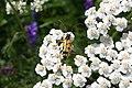 Rutpela maculata - img 13747.jpg