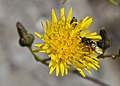 Sírfido (Chrysotoxum arcuatum) en un Crepis jardín botánico de Tallin, Estonia, 2012-08-12, DD 02.jpg
