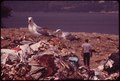 SEAGULLS SCAVENGE AT CROTON LANDFILL OPERATION ALONG THE HUDSON RIVER - NARA - 549951.tif