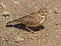 Sabota Lark (Calendulauda sabota) collecting grass for its nest (12750300113).jpg