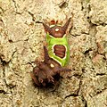 Saddleback Caterpillar (37067604310).jpg