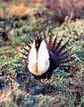 Sage-grouse (15573538689).jpg