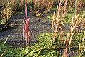 Salicornia europaea-(Queller) 02.jpg