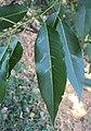 Salix tetrasperma 04.JPG