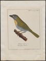 Saltator maximus - 1700-1880 - Print - Iconographia Zoologica - Special Collections University of Amsterdam - UBA01 IZ15900389.tif