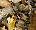 Salticidae Phlegra bresnieri (31352804263).jpg