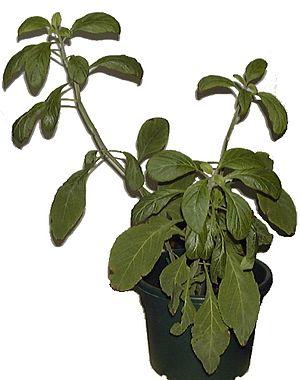 Salvia Divinorum.jpg