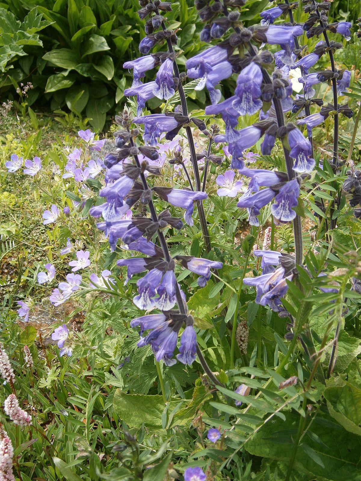 Salvia hians - Wikispecies