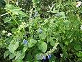 Salvia leptostachys.jpg