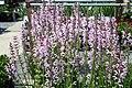 Salvia nemorosa Eveline 2zz.jpg