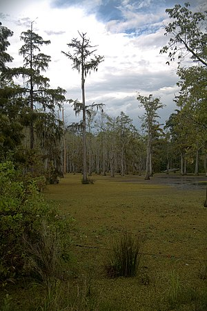 Sam Houston Jones State Park - A swamp in Sam Houston Jones State Park