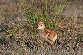 Sandhill crane chick iii, harns marsh (32693737714).jpg