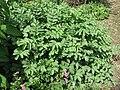 Sanguisorba applanata - Flickr - peganum (2).jpg