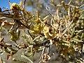 Sarcobatus vermiculatus (5042404778).jpg