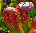 Sarracenia 'Lady Bug' and 'Love Bug' (7469510308).jpg