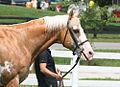 Sato - Palomino sabino Purebred Thoroughbred Stallion (5966907224).jpg
