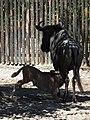 Saugendes Kalb Südliches Streifengnu Zoo Landau 2011.JPG