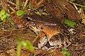 Savage's thin-toed frog (Leptodactylus savagei).jpg