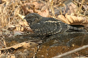 Savannah Nightjar David Raju.jpg