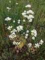 Saxifraga granulata sl21.jpg