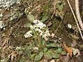 Saxifraga virginiensis 2011.jpg