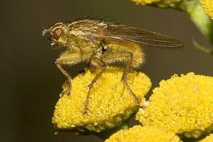 Gelbe Dungfliege (Scathophaga stercoraria)
