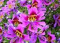 Schizanthus wisetonensis 'Angel Wings' (Solanaceae) flowers HDR.jpg