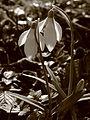 Schneeglöckchen Botanischer Garten.jpg