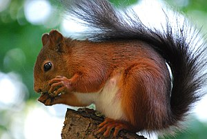 English: Red squirrel (Sciurus vulgaris) on a ...