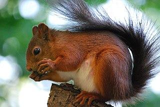 Veverica sa živí rôznymi plodmi a semenami