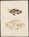 Scolopsis japonicus - - Print - Iconographia Zoologica - Special Collections University of Amsterdam - UBA01 IZ13000212.tif