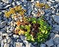 Scots Lovage (Ligusticum scoticum) - Port au Choix, Newfoundland 2019-08-19 (03).jpg