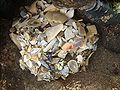 Sea anemone hiding under a blanket of shells.jpg