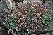 Sedum dasyphyllum.jpg