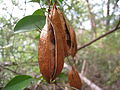 Seed pods ready to burst (5190717741).jpg