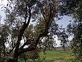 Sehala olive trees.jpg