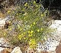 Senecio flaccidus var monoensis 3.jpg