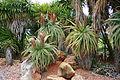 Ses Salines - Botanicactus - Aloe 05 ies.jpg