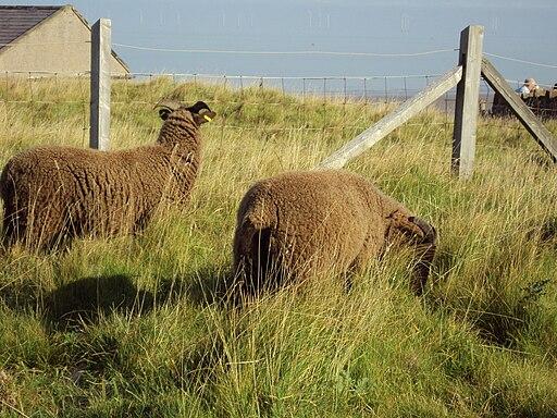 Sheep, Hilbre Island 3