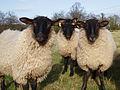 Sheep Study 7.jpg
