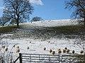 Sheep by Gamebuck Rough - geograph.org.uk - 1150150.jpg