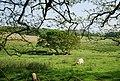 Sheep grazing, Ravenglass - geograph.org.uk - 1348898.jpg