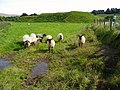 Sheep grazing around Lochrinnie Mote - geograph.org.uk - 533602.jpg