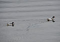 Shelducks on River Dart.jpg