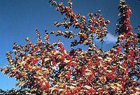 Shepherdia argentea USDA