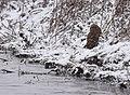 Short-eared Owl (30928840227).jpg