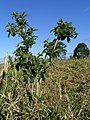 Sida rhombifolia plant9 (16143411095).jpg