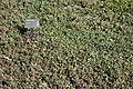Sidalcea malviflora - Leaning Pine Arboretum - DSC05627.JPG